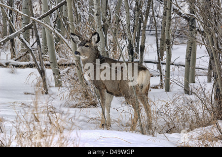 A male mule deer (buck) with small antlers standing in trees in winter. - Stock Photo