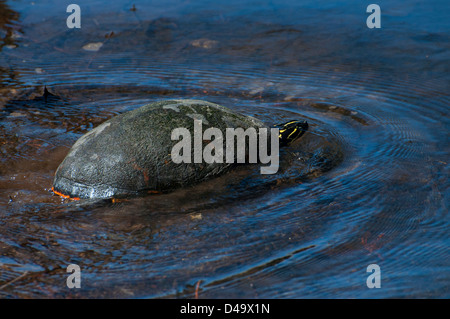 A Florida Red-bellied Turtle. - Stock Photo