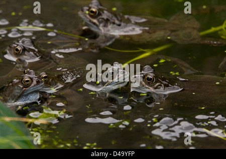 European common brown frog (Rana temporaria) at breeding pond in the mating season, close-up; garden pond, Dorset, - Stock Photo