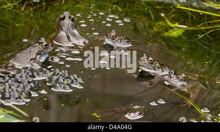 Common frogs, European common brown frog, Rana temporaria, at breeding pond in the mating season; garden pond, Dorset. - Stock Photo