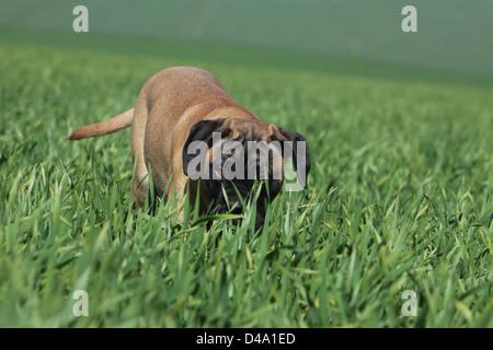 Dog Bullmastiff  /  puppy standing in a field - Stock Photo