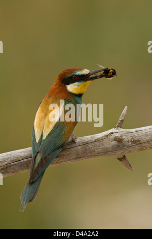 A Bee-eater on the perch with a prey - Stock Photo