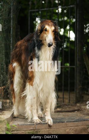 Dog barzoi / Borzoi / Russian wolfhound / Barsoi adult standing - Stock Photo
