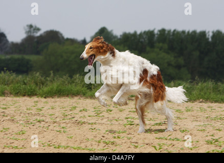 Dog barzoi / Borzoi / Russian wolfhound / Barsoi  /  adult running in a field - Stock Photo