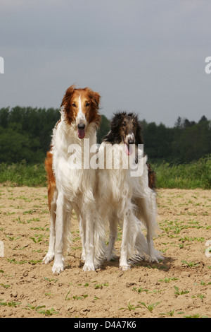 Dog barzoi / Borzoi / Russian wolfhound / Barsoi  /  two adults standing in a field - Stock Photo