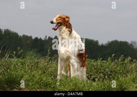 Dog barzoi / Borzoi / Russian wolfhound / Barsoi  /  adult standing in a field - Stock Photo