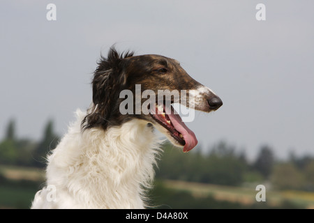 Dog barzoi / Borzoi / Russian wolfhound / Barsoi adult portrait - Stock Photo
