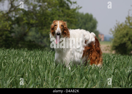 Dog barzoi / Borzoi / Russian wolfhound / Barsoi adult standing in a field - Stock Photo