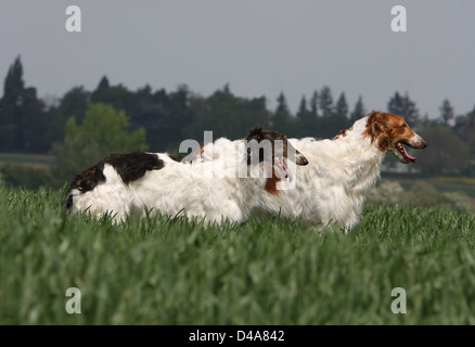 Dog barzoi / Borzoi / Russian wolfhound / Barsoi  //  two adults standing in a field - Stock Photo