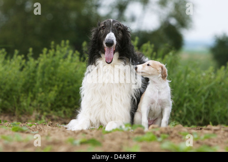Dog barzoi / Borzoi / Russian wolfhound / Barsoi adult and puppy in a field - Stock Photo