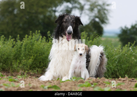 Dog barzoi / Borzoi / Russian wolfhound / Barsoi adult and puppy lying in a field - Stock Photo