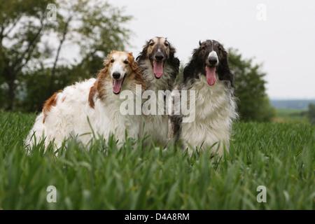 Dog barzoi / Borzoi / Russian wolfhound / Barsoi  /  three adults standing in a field - Stock Photo