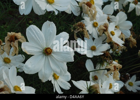 Flowers with morning dew. - Stock Photo