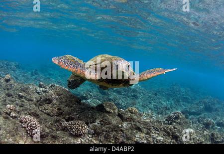 Green sea turtle swims off the coast of Maui, Hawaii. - Stock Photo