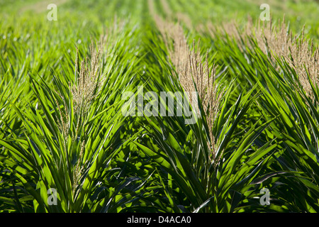 Genetically modified corn in Hawaii. - Stock Photo