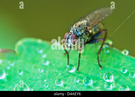 Tachinid fly perched on a leaf with dew in morning light - Stock Photo