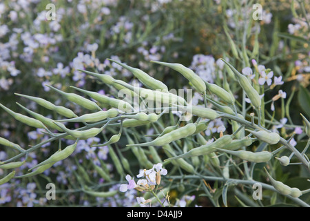 Seed pods of Daikon radish  'Raphanus sativus' - Stock Photo