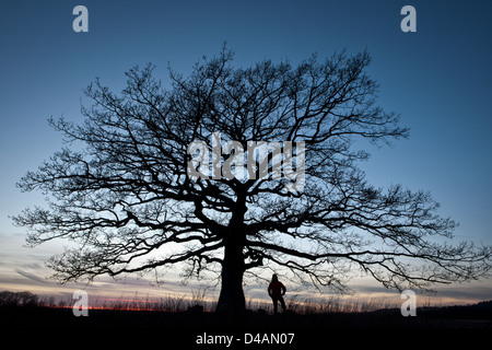 Old Oak tree at dusk in Råde kommune, Østfold fylke, Norway. - Stock Photo