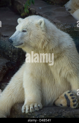 Young polar bear sitting on a rock, zoo Schönbrunn, Vienna, Austria - Stock Photo