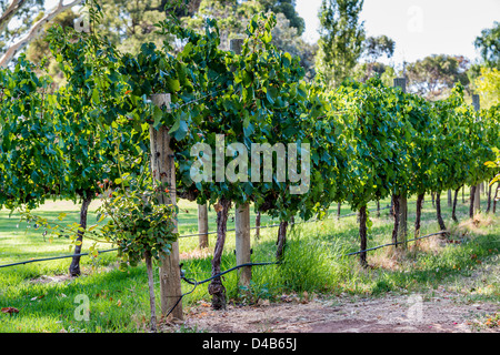 A rows of vines in a Barossa Valley vineyard, bathed in sunlight. - Stock Photo