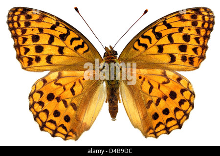 High Brown Fritillary butterfly (Fabriciana adippe) isolated on white background - Stock Photo