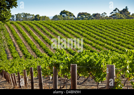 VInes growing in the Barossa Valley wine region of South Australia - Stock Photo