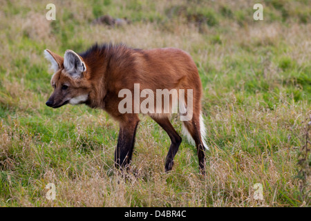Maned Wolf (Chrysocyon brachyurus). Largest canid of South America. Stalking perceived prey. Vulnerable. - Stock Photo