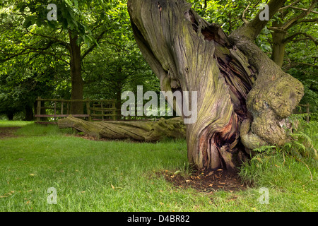 Twisted bare spiral trunk of an old Sweet Chestnut Tree (Castanea sativa), Bradgate Park, Leicestershire, England, - Stock Photo