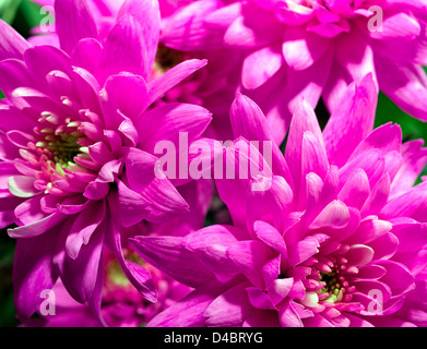 Beautiful Pink Dahlia Flower head Macro - Stock Photo