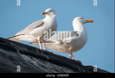 Herring Gulls on Roof - Stock Photo
