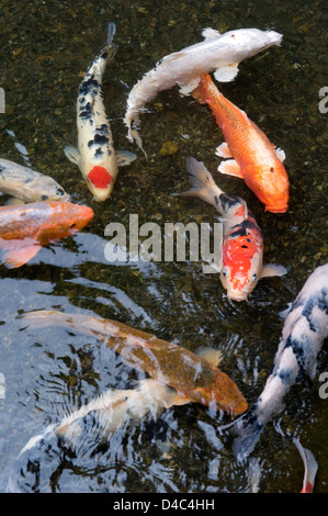 Multi colored koi fish swim on the surface of a green koi for Blue and orange koi fish