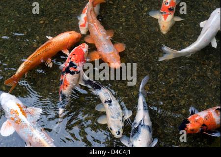 Orange white and multi colored koi carp fish swimming in for Shallow koi pond