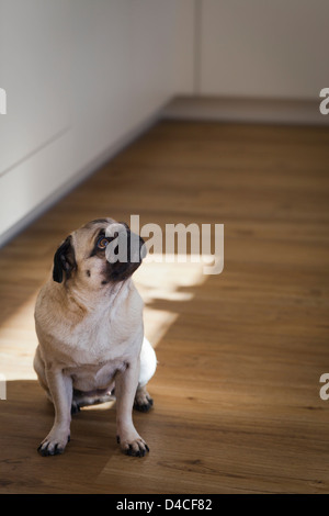 Pug dog sitting on wooden floor - Stock Photo