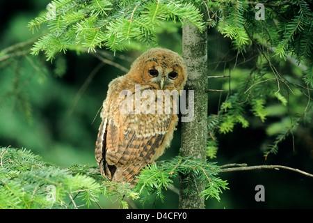 Waldkauz, Jungvogel (Strix aluco) Young Tawny Owl • Ostalbkreis, Baden-Württemberg; Deutschland, Germany - Stock Photo