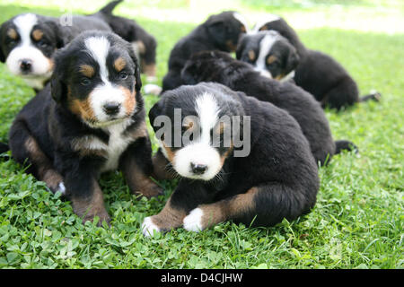 Four weeks-old Bernese mountain dog pups depicted on a lawn in Deisenhofen, Germany, 19 June 2007. Photo: Robert - Stock Photo