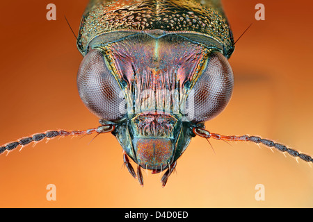 Head of a ground beetle Notiophilus, extreme close-up - Stock Photo