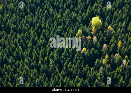 Autumnal conifer forest with some broadleaf trees, aerial photo - Stock Photo