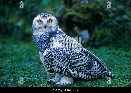 Schnee-Eule, Jungvogel (Nyctea scandiaca) Young Snowy Owl • Baden-Württemberg; Deutschland, Germany