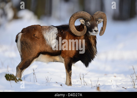 European mouflon, Ovis orientalis musimon, in snow, Bavaria, Germany, Europe - Stock Photo