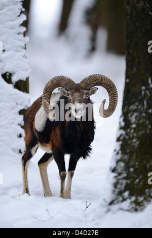 European mouflon, Ovis orientalis musimon, in snow, Bavaria, Germany, Europe - Stock Photo