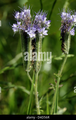 Scorpionweed (Phacelia tanacetifolia) growing, Northamptonshire, UK - Stock Photo
