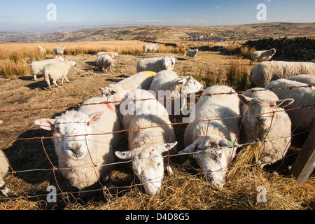 Sheep feeding on hay on Ovenden moor near Keighley, West Yorkshire, UK. - Stock Photo