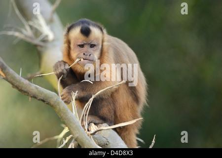 Tufted capuchin (Cebus apella) in Augsburg Zoo, Germany - Stock Photo