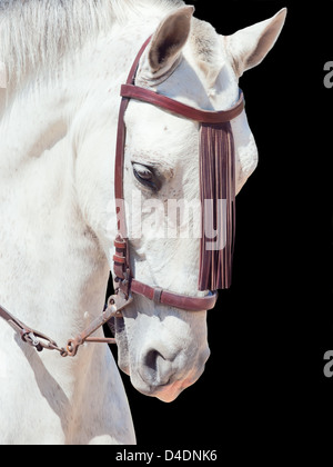 portrait of beautiful Andalisian speckled- white horse. Spain. isolated - Stock Photo