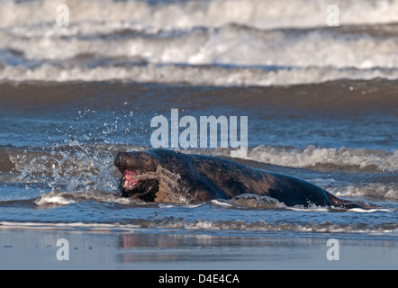 Grey Atlantic Seal Bull, Halichoerus grypus On Sea Shore. Donna Nook. Uk - Stock Photo