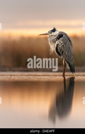 Grey heron (Ardea cinerea) standing in a marsh at dusk - Stock Photo