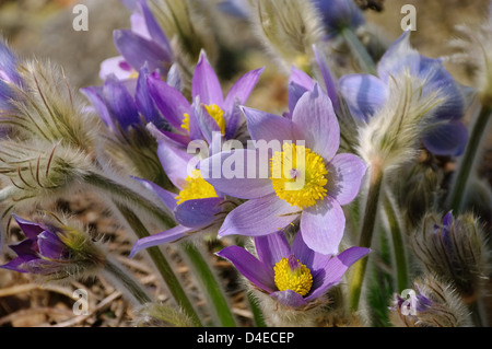 Kuechenschelle - pasque flower 17 - Stock Photo