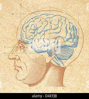 A diagram of the human brain - Stock Photo