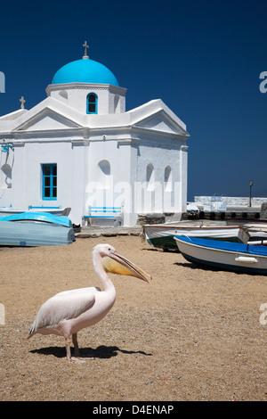 Petros, a white Pelican is the mascot of Mykonos, on the beach near the blue domed Agios Nikolaos Church - Stock Photo