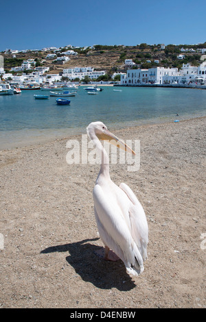 Petros a white Pelican (Pelecanus onocrotalus) who is the official mascot of Mykonos on the beach at Chora - Stock Photo